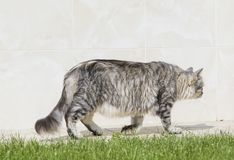 Female cat walking in the garden, siberian female with long hair Stock Photo