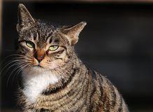 A female cat Royalty Free Stock Images