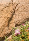 Female Catalonian Wall Lizard with flowers. A female catalonian Wall Lizard - Podarcis liolepis - climbs down a wall with flowering plants Royalty Free Stock Photo
