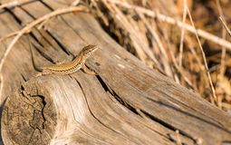 Female Catalonian Wall Lizard on log. A female Catalan Wall Lizard - Podarcis liolepis - basking on a fallen log in eastern Spain, Catalonia Royalty Free Stock Image