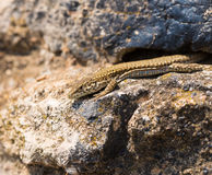 Male Catalonian Wall Lizard. A female Catalonian Wall Lizard - Podarcis liolepis - basking on an ancient dry wall in eastern Spain, Catalonia Stock Photos