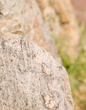 Female Catalonian Wall Lizard. A female Catalonian Wall Lizard - Podarcis liolepis - looks from behind it`s basking rock in northeastern Catalonia, southern Stock Photo