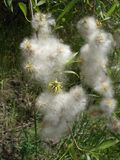 Female catkin of willow wadding Royalty Free Stock Images