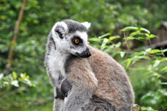 Female catta monkey Stock Images