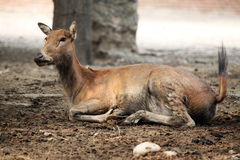 A female cervus elaphus Royalty Free Stock Photo