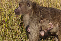 Female Chacma baboon & her young Royalty Free Stock Photo