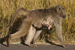 Female Chacma baboon & her young Royalty Free Stock Photography