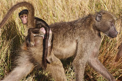 Female Chacma baboon & her young Stock Images