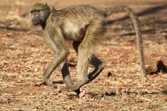 Female Chacma baboon in Kruger National Park, South Africa stock image