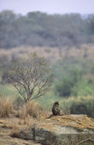 Female Chacma Baboon in landscape, South Africa Royalty Free Stock Image