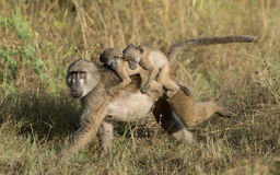 Female Chacma baboon with twins, Botswana Royalty Free Stock Images
