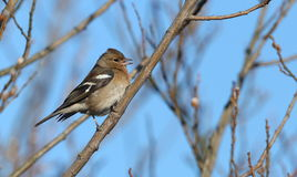 Female chaffinch. Stock Photo