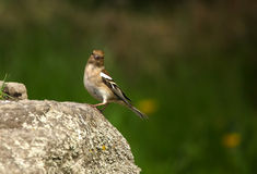 A Female Chaffinch. In full colour stood on a rock stock image
