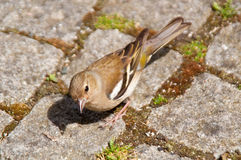 Female Chaffinch Stock Photos