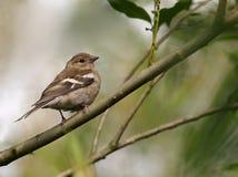 Female Chaffinch. Fringilla coelebs, on branch stock photos