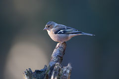 Female chaffinch Stock Photo