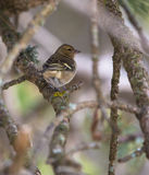 Female Chaffinch. A female Chaffinch (Fringilla coelebs) perches hidden in the protective vegetation of a Mediterranean forest Stock Images