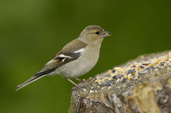 Female Chaffinch Stock Images