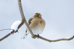 Female Chaffinch. (Fringilla coelebs) sitting on a branch in winter Stock Photo