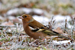The female Chaffinch Stock Images