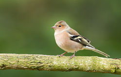 Female Chaffinch bird Stock Photography