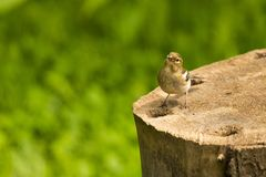 Female Chaffinch bird Royalty Free Stock Photos