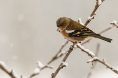 Female chaffinch bird winter. Female chaffinch bird sitting in a tree in winter time with blurred background Royalty Free Stock Photography