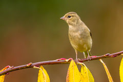 Female Chaffinch on a branch Stock Photography