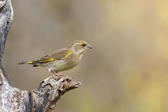 Female Chaffinch. On branch in nature outdoor Royalty Free Stock Photography