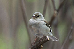 Female chaffinch on a branch. The photograph shows a female chaffinch on a branch Stock Photo
