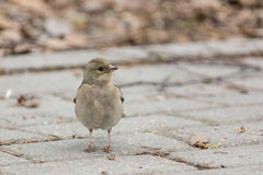 Female chaffinch on a branch Stock Photos