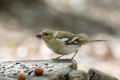Female chaffinch on a branch. The photograph shows a female chaffinch on a branch Royalty Free Stock Photography