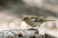 Female chaffinch on a branch. The photograph shows a female chaffinch on a branch Royalty Free Stock Photo