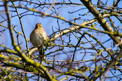 Female chaffinch enjoying the sun Royalty Free Stock Photo