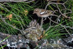Female chaffinch feeding chicks in the nest Royalty Free Stock Photo