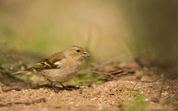 Female Chaffinch feeding on ground. A female Chaffinch (Fringilla coelebs) feeds on seeds on a sandy ground Royalty Free Stock Photo