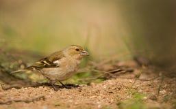 Female Chaffinch feeding on ground Royalty Free Stock Photo