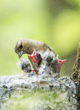 Female Chaffinch feeds its young mouthed Chicks in the nest Stock Images