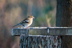 Female Chaffinch Fringilla coelebs. At a Feeding Station Royalty Free Stock Photography