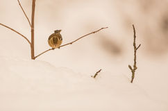 Female Chaffinch with snow. A female Chaffinch (Fringilla coelebs) looks down from her perch on a dry branch in a snow-covered landscape Royalty Free Stock Image