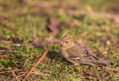 Female Chaffinch on the ground Royalty Free Stock Photography