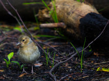 The female Chaffinch. On the ground Royalty Free Stock Photo