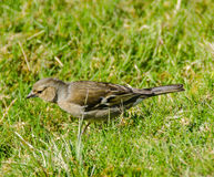 Female Chaffinch hunts for food. Chaffinch Female hunts for food in grass Stock Image