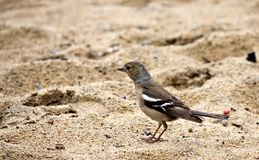 Female Chaffinch on the lake looking for food. In the sand, South Ural Royalty Free Stock Images