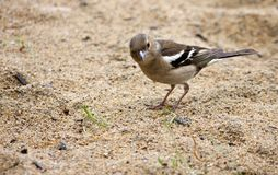 Female Chaffinch on the lake looking for food. In the sand, South Ural Stock Image