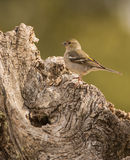 Female Chaffinch on a log Royalty Free Stock Photo