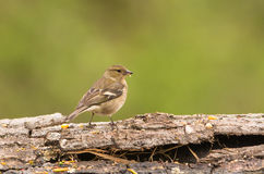 Female Chaffinch on a log. A female Chaffinch (Fringilla coelebs) standing on a log's bark Royalty Free Stock Photos