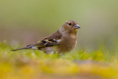 Female Chaffinch looking Stock Photography