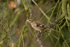 Female chaffinch on moss Royalty Free Stock Photography