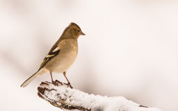 Female Chaffinch with snow. A female Chaffinch perched on a branch covered with snow Royalty Free Stock Image